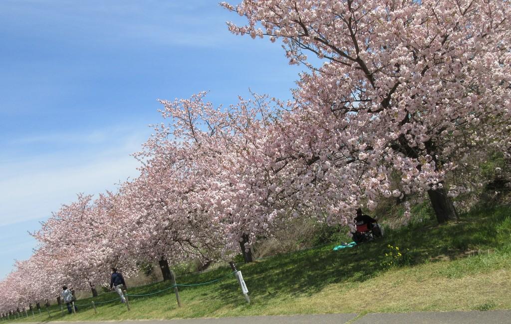 桜小布施斜めIMG_0128